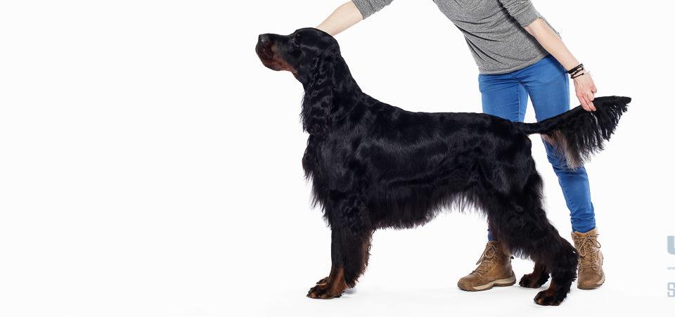 Pies na medal | seter szkocki gordon | fotografie ilustracyjne