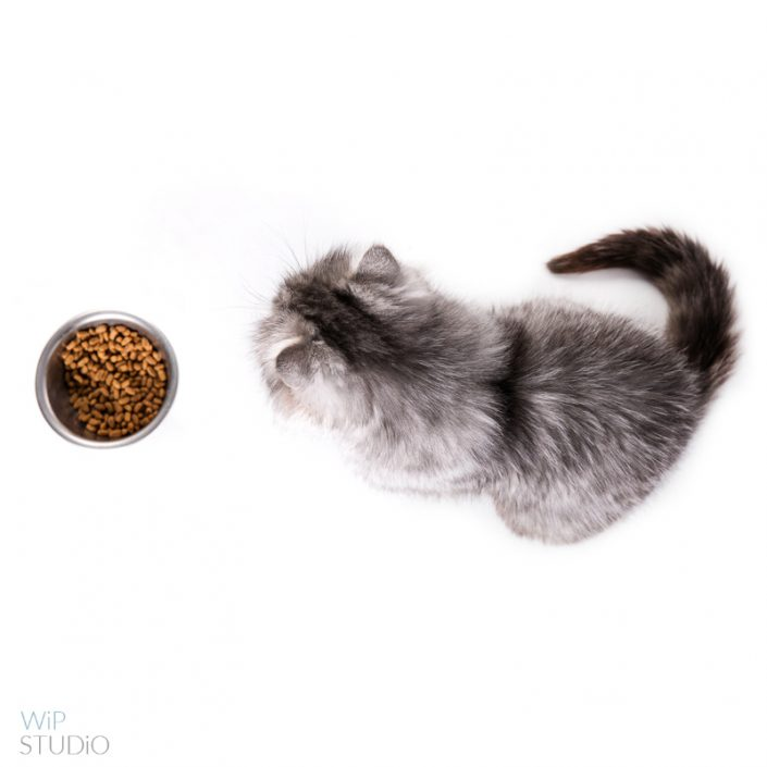, Bell- nasza ulubiona kocia modelka, Studio Fotograficzne Lublin , Studio Fotograficzne Lublin